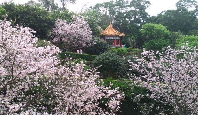 台湾天元宮桜4.jpg