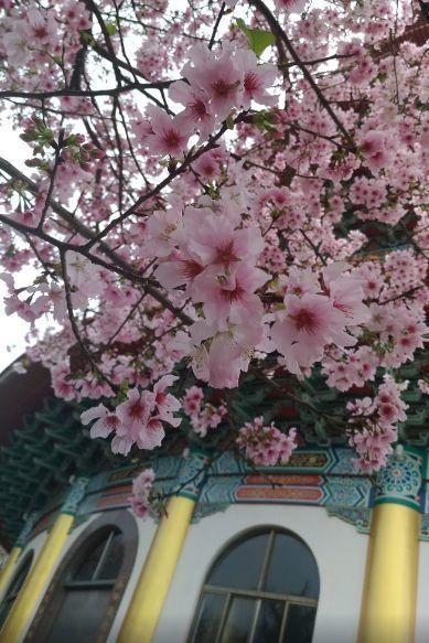 台湾天元宮桜7.jpg