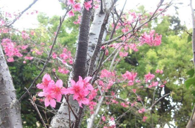 台湾山桜.jpg
