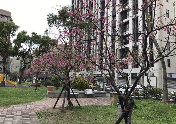 台湾桜2020 03b.jpg